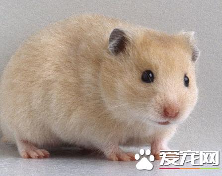 金丝熊是仓鼠么 金丝熊是仓鼠的一种